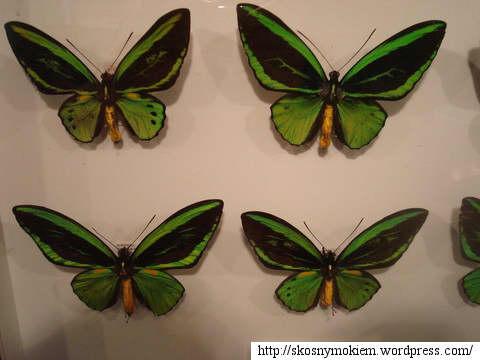 insect_kingdom_motyle_gablota